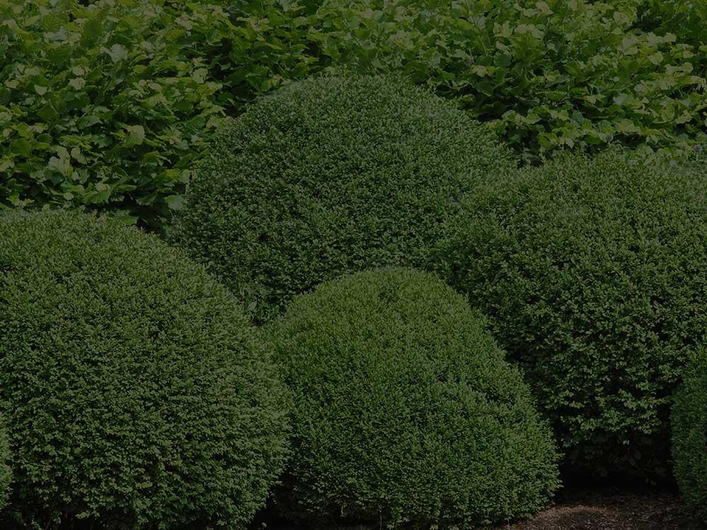 Toronto Shrubs and Hedges
